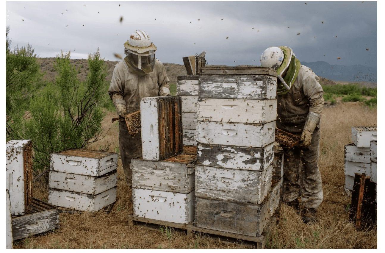 Beekepers collecting honey